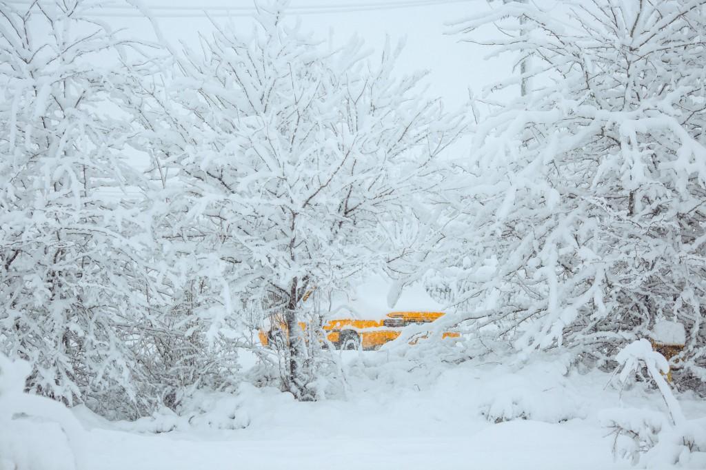 Dacie galbenă timidă în zăpadă