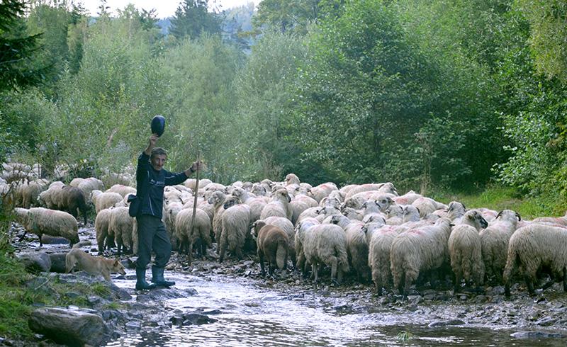 Ciobanii înfruntă, pe parcursul transhumanței, condiții vitrege care le șubrezesc sănătatea