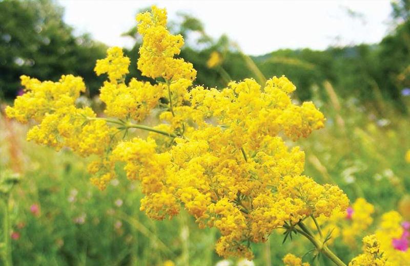 Etnologii spun că Sânzienele reprezintă atât denumirea unor flori galbene sau albe, cât și a unor zâne ce coboară pe pământ în noaptea de 23 spre 24 iunie (după solstițiul de vară)
